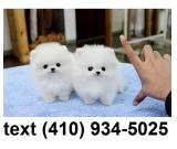Charming mini t-cup pomeraian puppies for sale.