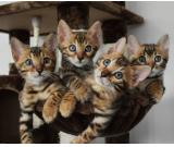 Bengal kittens for sale and adoption