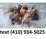 Amazing Sphynx kittens for sale!