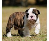 buy nice english bulldog puppy +17167030574