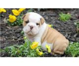 English Bulldog puppies 2 males and 2 females