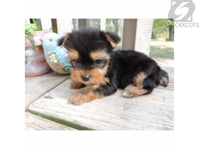 Two Beautiful Small Yorkie Puppies for Adoption Houston