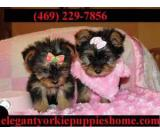 Yorkshire puppies ready Text:2403859178
