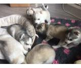 Siberian Husky Dogs for sale in the UK
