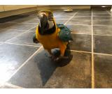 Tamed, Cuddly Blue & Gold Macaw