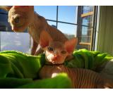 Male and Female Sphynx kittens with papers and health guarantee