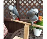 Pair Of Congo African Parrots For Christmas At (402) 285-5283