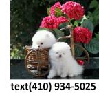 Super Cute Top Quality Tcup Pomeranian Puppies for sale!