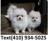 Cuttest Tiny t-cup pomeranian puppies for sale!!