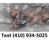Amazing Sphynx kittens looking for lovely homes!