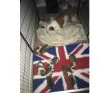 English bulldog Puppies, M/F, $700