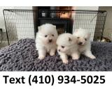 Exceptional tiny t-cup pomeranian puppies for sale.