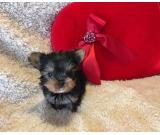 Yorkie puppies - $300 text us 7573465058