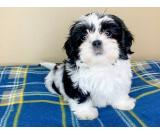Three month old full breed Female Shih tzu