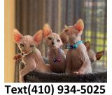 Exceptional sphynx kittens searching for new homes.