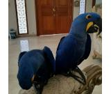 HYACINTH MACAW PARROTS Parrot Eggs FOR SALE