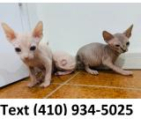 Quality hairless sphynx kittens for sale!