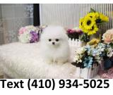 Healthy tiny teacup Pomeranian Puppies for sale.