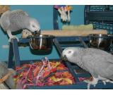 african grey parrot couple