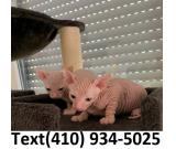 Outstanding hairless sphynx kittens for sale!