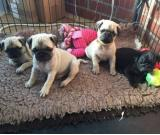 Free Pug Puppies available