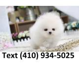 Cuttest tiny t-cup pomeranian puppies for sale!