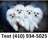 Amazing tiny t-cup pomeranian puppies for sale.
