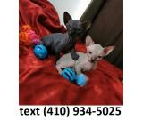 Hairless sphynx kittens searching for new homes!