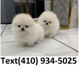 Beautiful t-cup pomeranian puppies for sale!