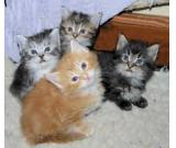 Gorgeous pedigree Maine coon kittens