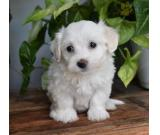 BUY MALE AND FEMALE TEENY COTON DE TULEAR  PUPPPIES