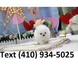 BEAUTIFUL STUNNING WHITE TEACUP POMERANIAN PUPPIES AVAILABLE!!