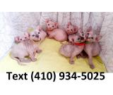 Beautiful sphynx kittens available for sale!