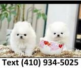 Small size t-cup pomeranian puppies for sale.