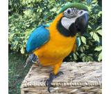 Macaw parrot adoption