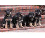 Sweet German Shepherd Puppies Ready