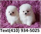 Amazing t-cup pomeranian pups for sale.