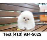 Mini Teacup pomeranian puppies for sale!!!!