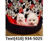 Tiny Teacup pomeranian puppies for sale...