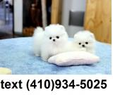 Outstanding Tiny T-cup pomeranian puppies for sale.!