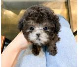 Beautiful toy poodle pups for sale.