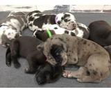 STUNNING Great Dane/Irish Wolfhound Puppies!