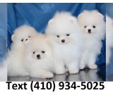 Akc reg. tiny t-cup pomeranian puppies for sale!!