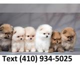 Beautiful tiny t-cup pomeranian puppies ready to go!
