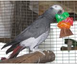 Parrots and fertile parrot eggs for sale +1(331) 213-2013