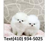 Adopt cute t-cup pomeranian puppies for xmas!