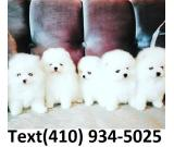 Tiny t-cup pomeranian pom puppies for sale!
