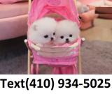 Exceptional white tiny t-cup pomeranian puppies for sale.