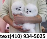 Cute tiny t-cup pomeranian puppies for sale.