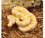 Albino Spider Ball Pythons
